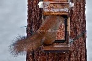 Orava ruoanhakemisessa