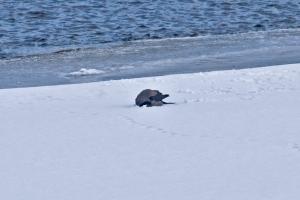 varis lumikylvyssä