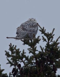 Tunturipöllö, Bubo scandiakus, Fjälluggla, Snowy Owl, Schnee-eule