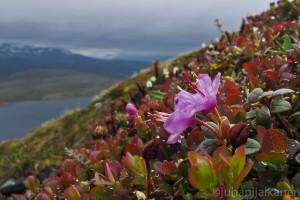 lapinalppiruusu, Rhodorentron Lapponicum